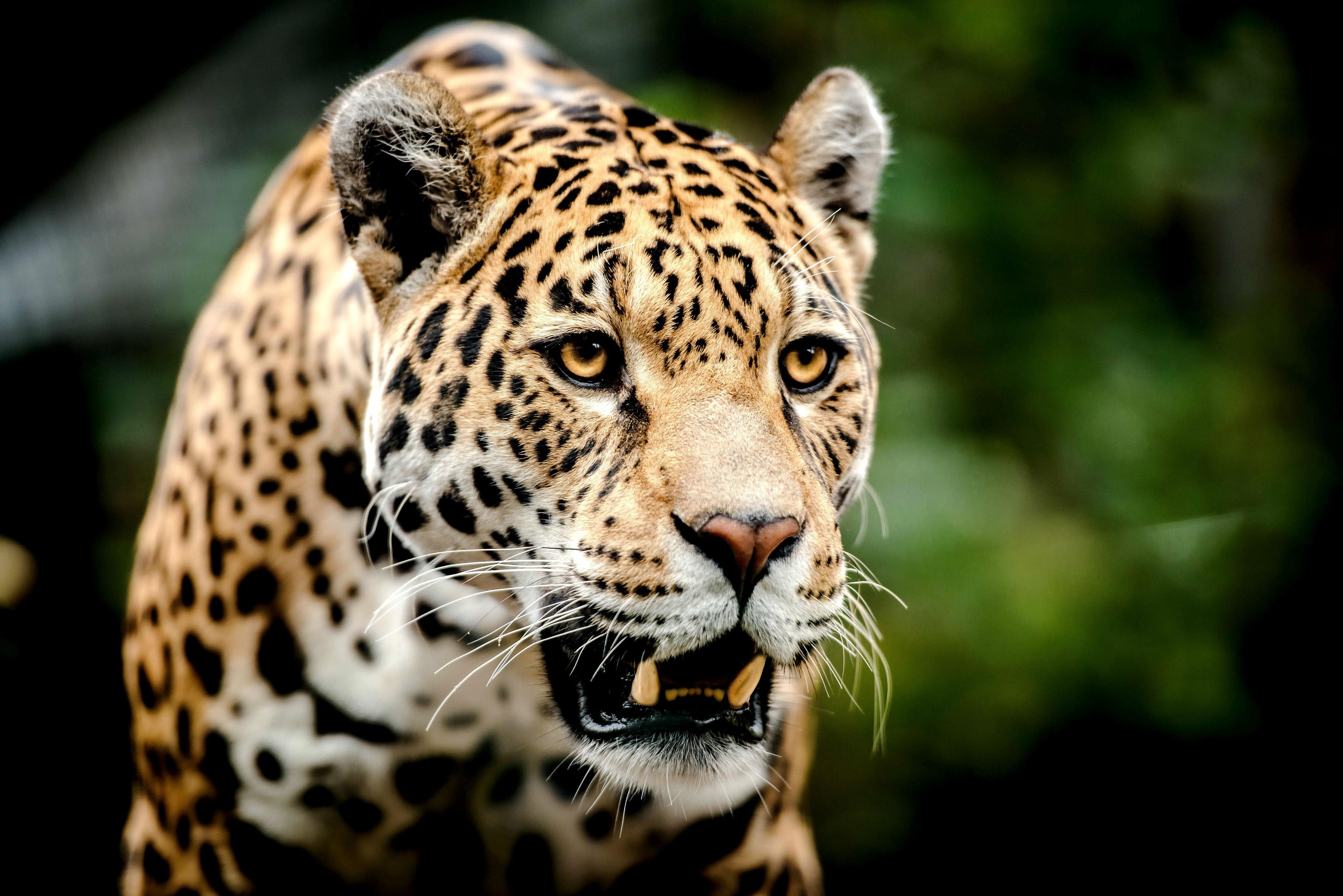 Leopard Face Wallpaper