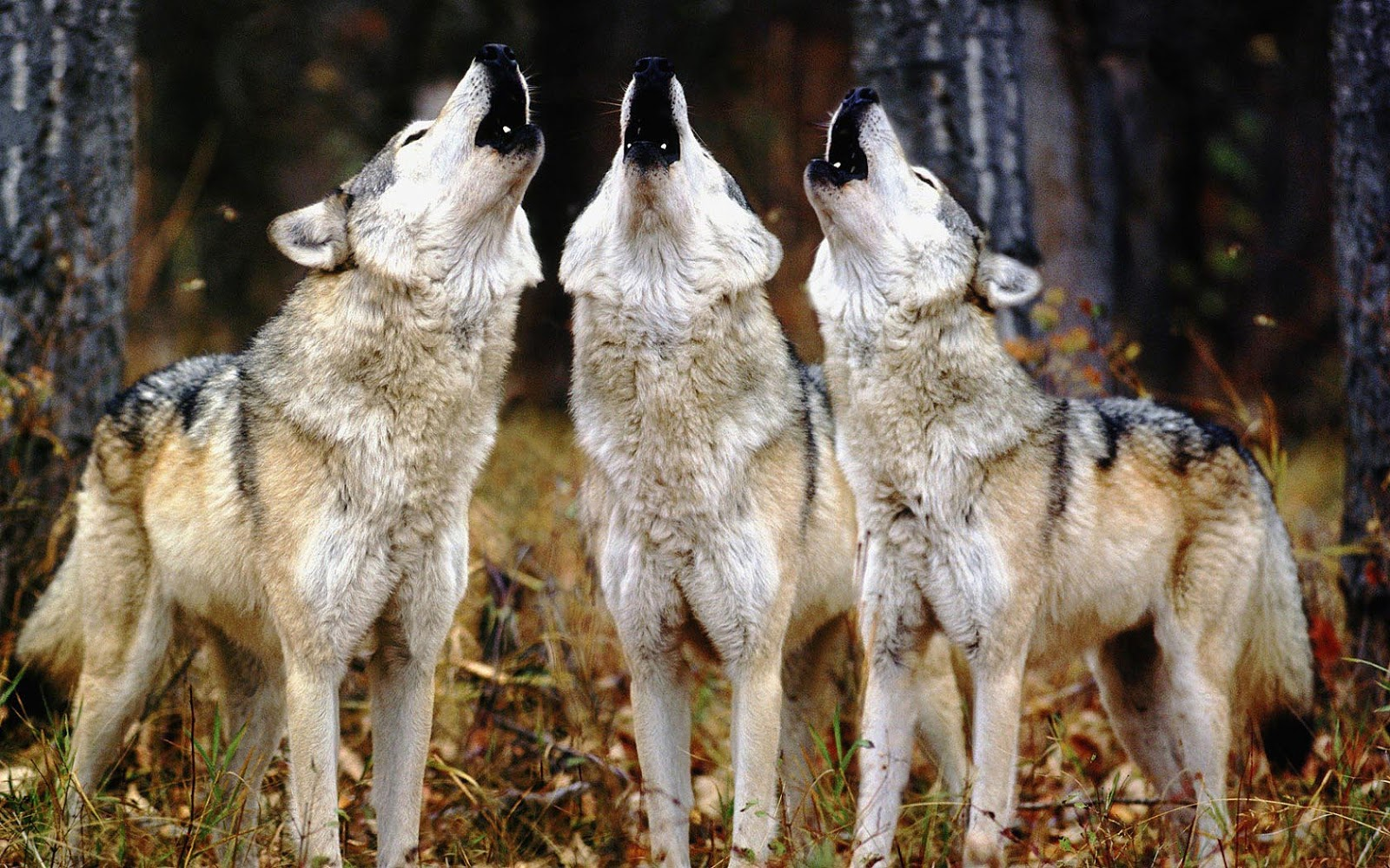 Wallpaper Of Three Howling Wolves Hd Animals Wallpapers