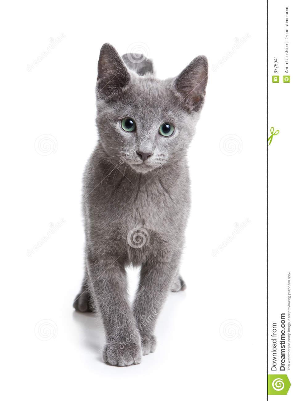 Image Russian blue kitten