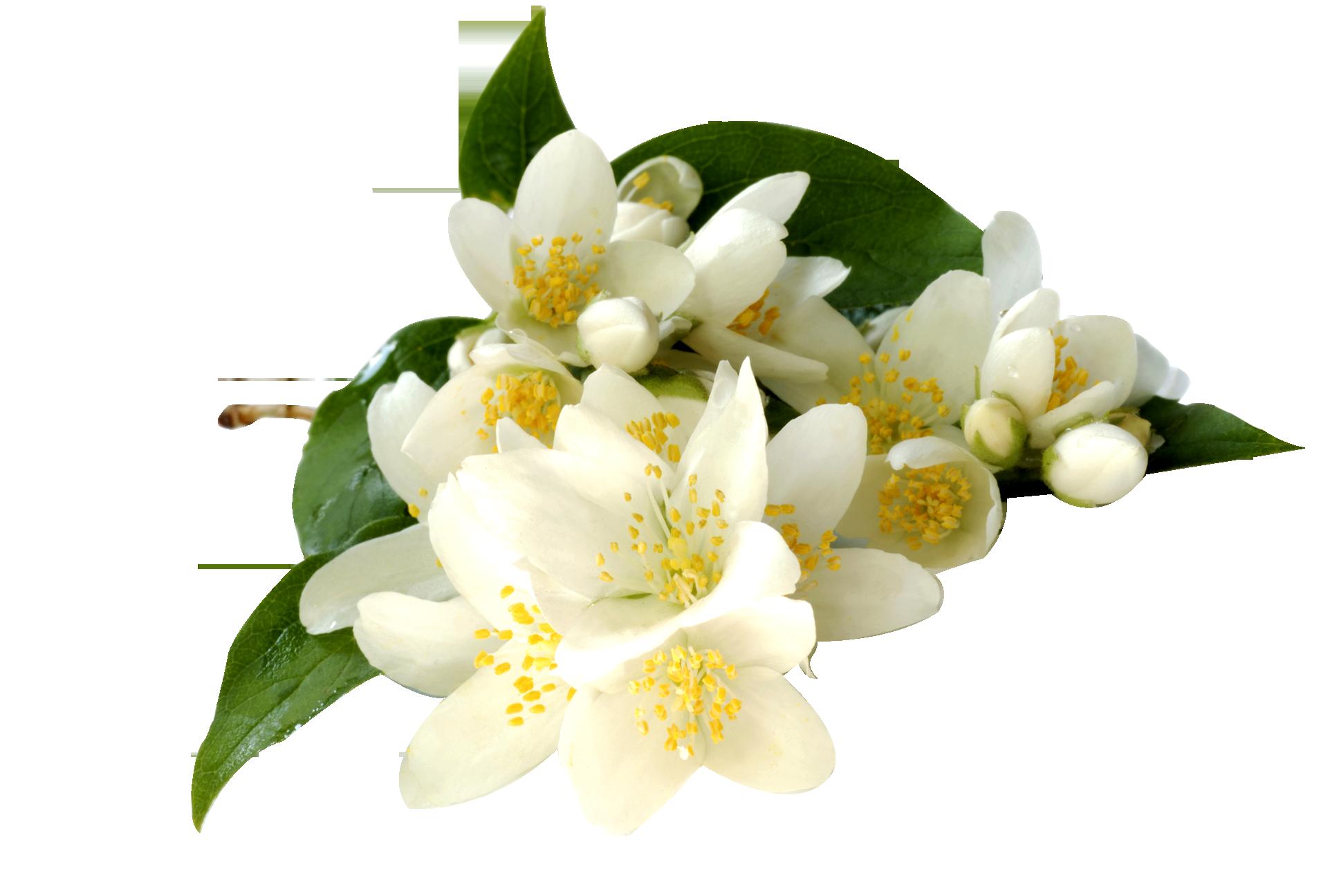 Image jasmine flower transparentg animal jam clans wiki jasmine flower transparentg izmirmasajfo