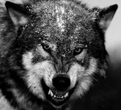 Los lobos wolves edited-2