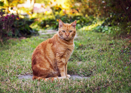Cat-Cat Guide-A ginger cat sitting in outdoors in the garden ready to explore