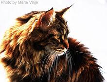 Tabby maine coon cat-12-