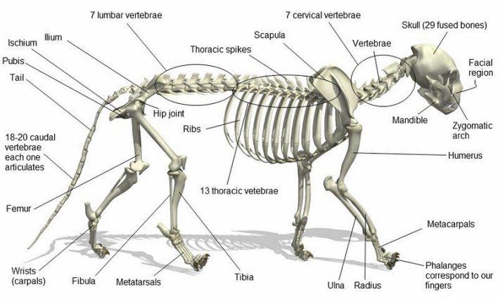 Image Basic Cat Anatomy Picture E1471967391349g Animal Jam