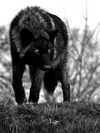 Blizxard - Ebony Wolf Picture