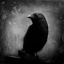 Raven photograph crow black bird photography 10x10 photography 2