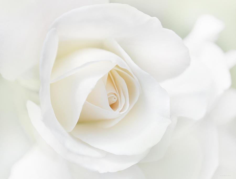Image the white rose flower jennie marie schellg animal jam the white rose flower jennie marie schellg mightylinksfo