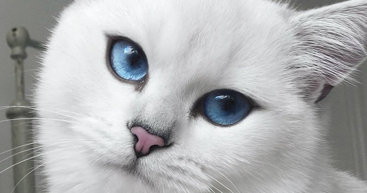 White Cat With Blue Eyes Picture