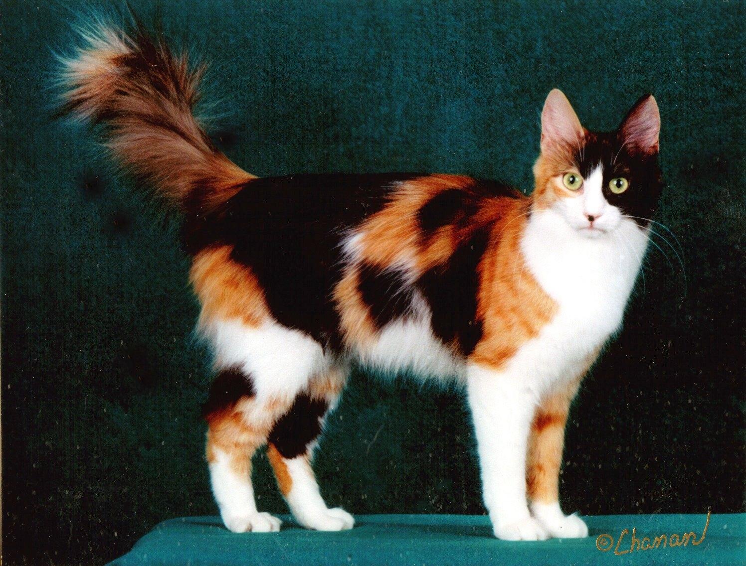 Image - Calico-turkish-angora-cat-tmda3qt7.jpg   Animal ...