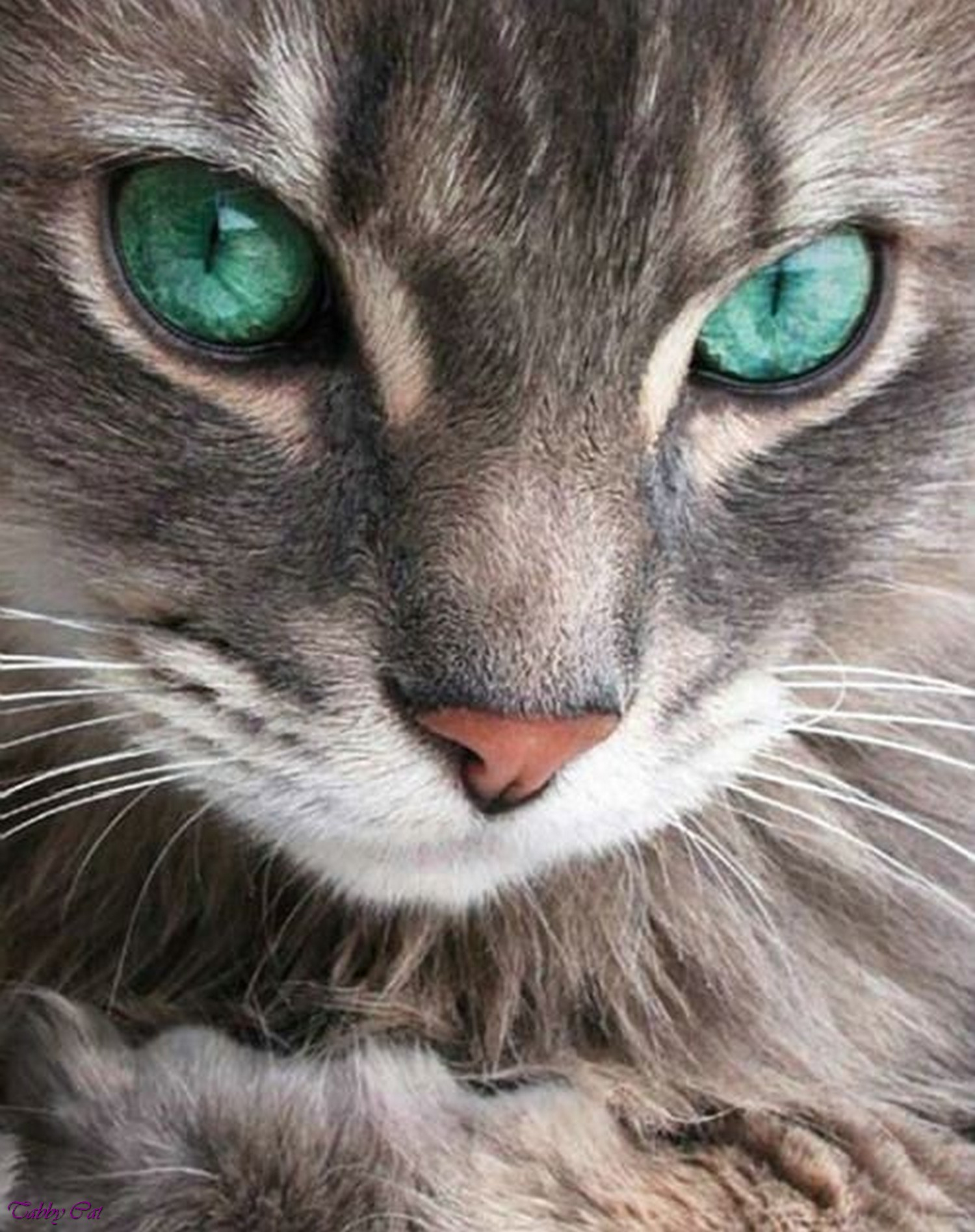 25  Adorable Grey Cat Breeds with Green Eyes