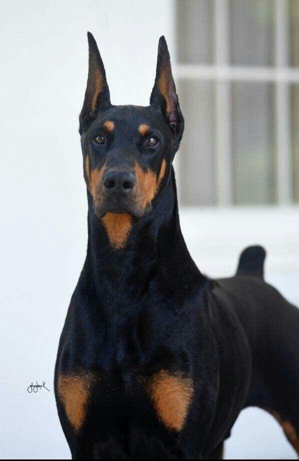 Image - A6f7aee2f57ed3aa64916c812e794bc1--doberman-puppy ...