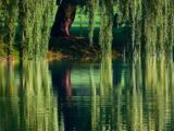 Tribe of the Weeping Willows