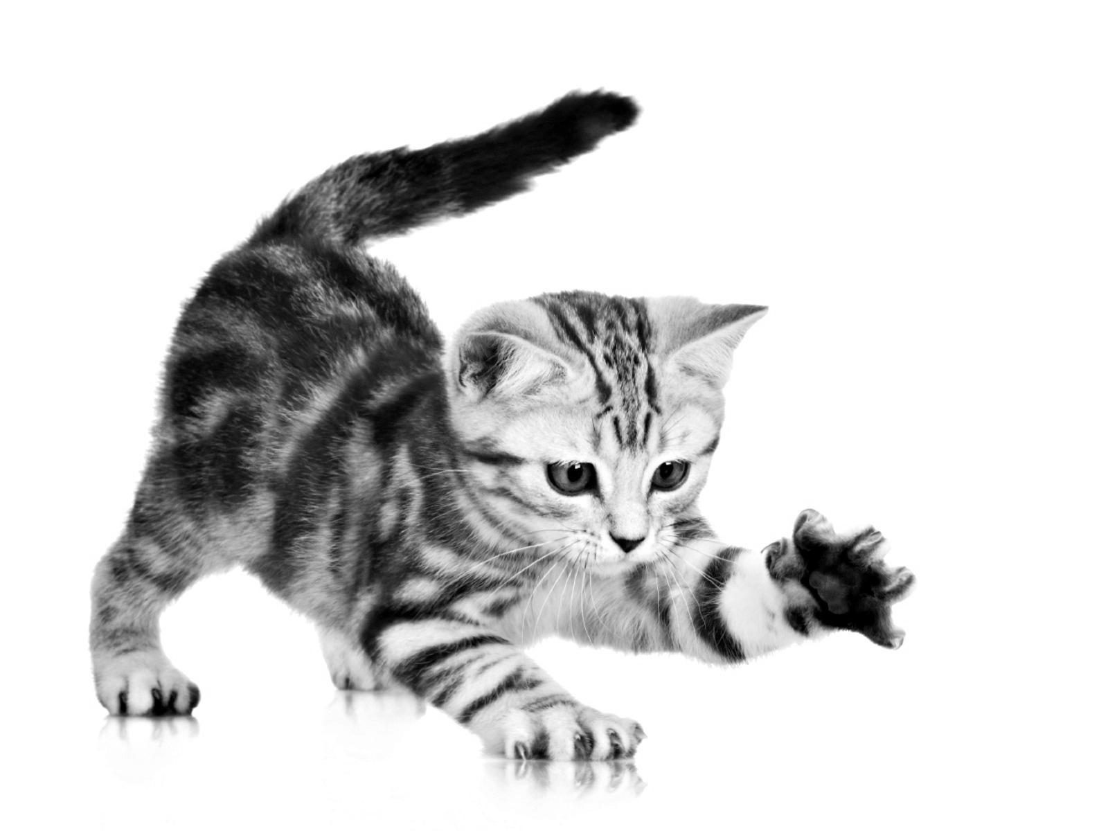 Image Gray Playful Kitten Grey Cat White Cute Stripes Hd Wallpaper