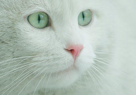 image tumblr static white cat with green eyes jpg animal jam