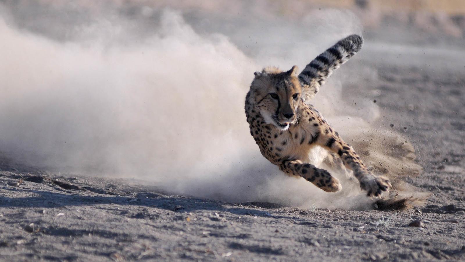 Image Cheetahsrunningfullspeedwallpaper1jpg Animal Jam