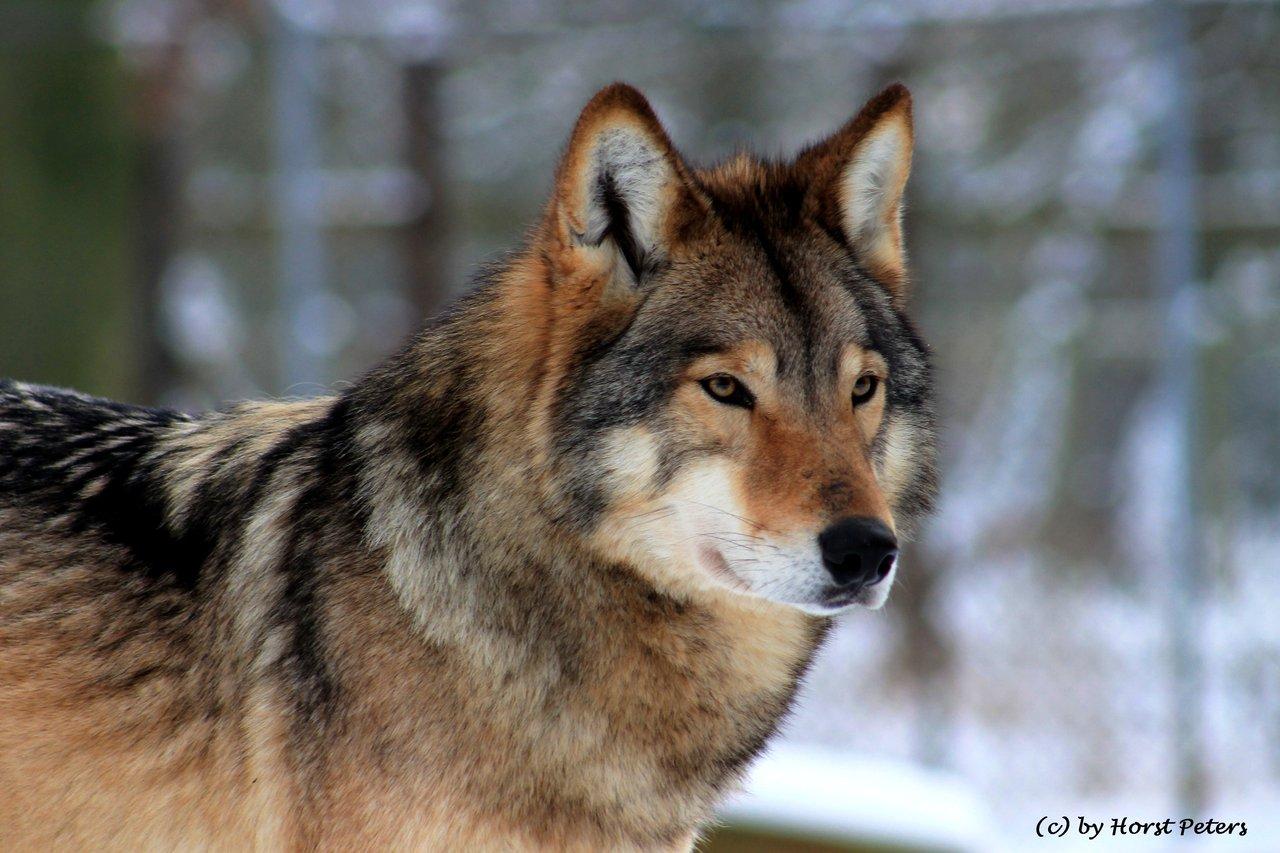 image timber wolf timberwolf 4 by bluesgrass d5thygh jpg animal