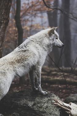 image pretty wolf 2 jpg animal jam clans wiki fandom powered