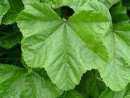 Mallow leaf