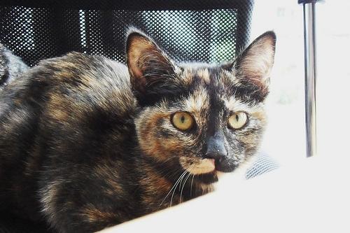 Calcico Cat Animal Jam
