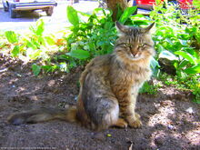 Lime-eyed-brown-mackerel-tabby-inquisitive-cat-7