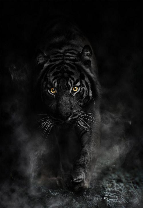 Black Tiger12