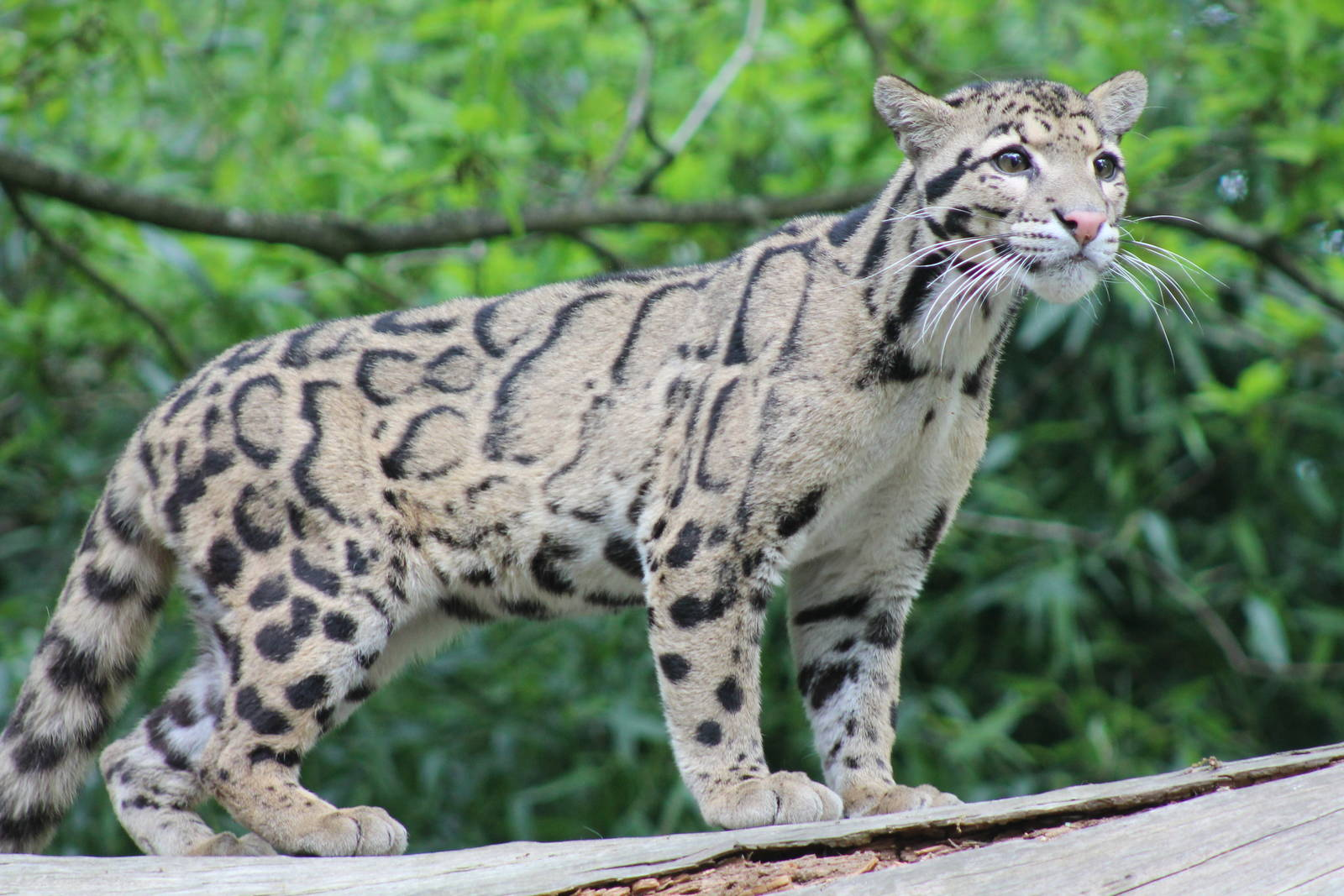 Clouded Leopard ile ilgili görsel sonucu