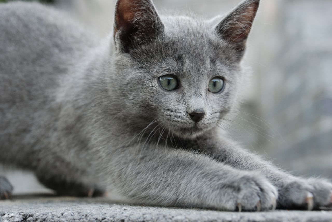 Image Gccf reg full pedigree russian blue kittens 550ec e0