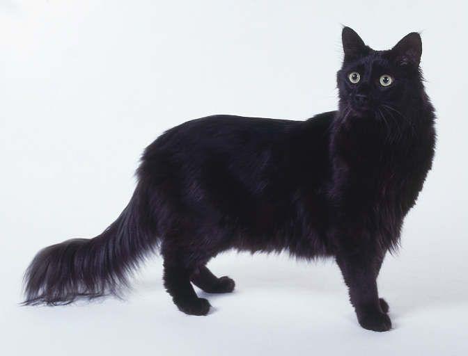 Turkish angora cat character