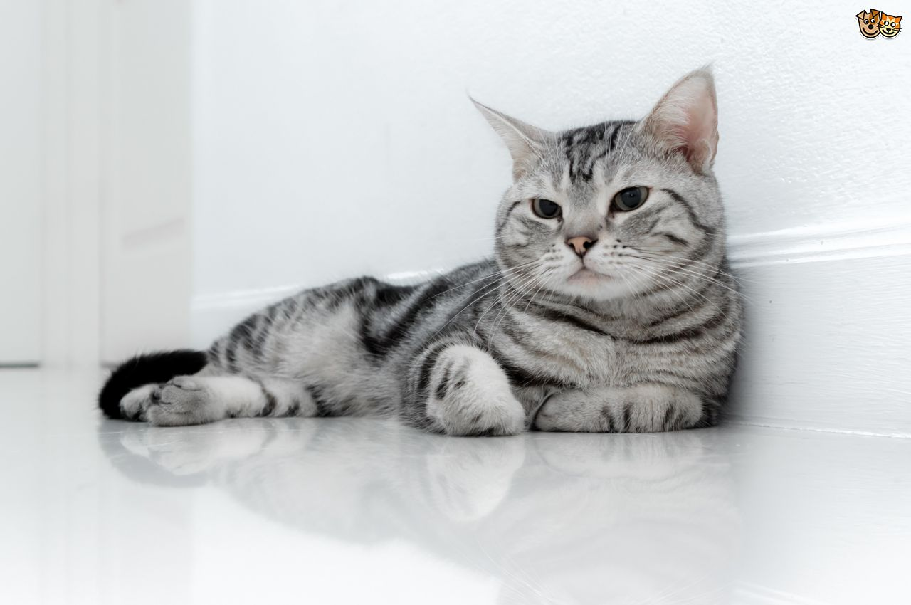 Image - Black-And-White-American-Shorthair-Cat-Relaxing.jpg | Animal ...
