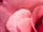 Roseclan (DiamondStripe1)