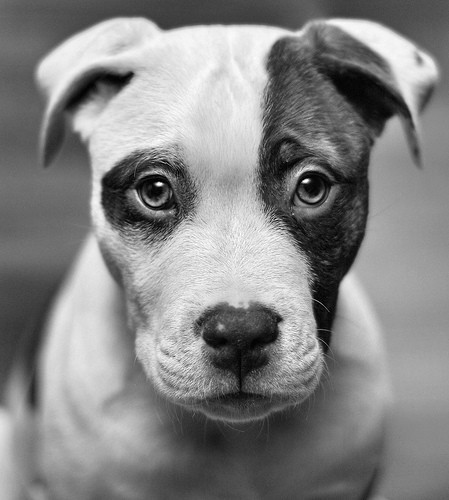 Black and white dog eyes face photography favim com 450046 jpg