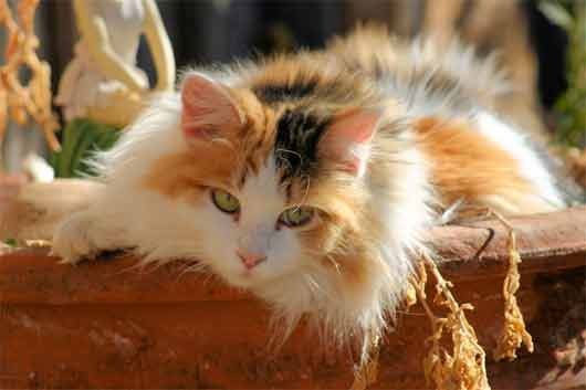 File:Long-haired-calico-cat.jpg