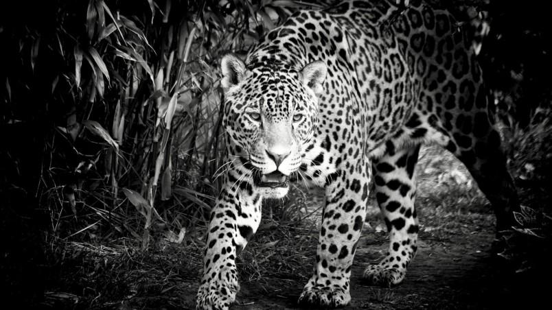 Preview black and white jaguar jpg
