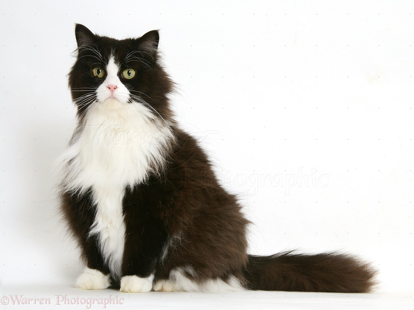 50 Cute Black and White Persian Cat
