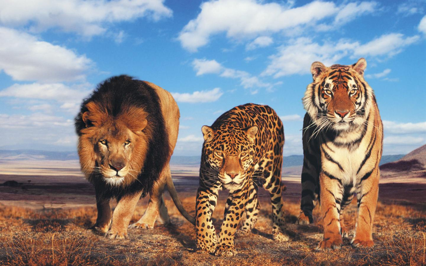 image - lion-cheetah-and-tiger-animals-big-cat-wallpaper