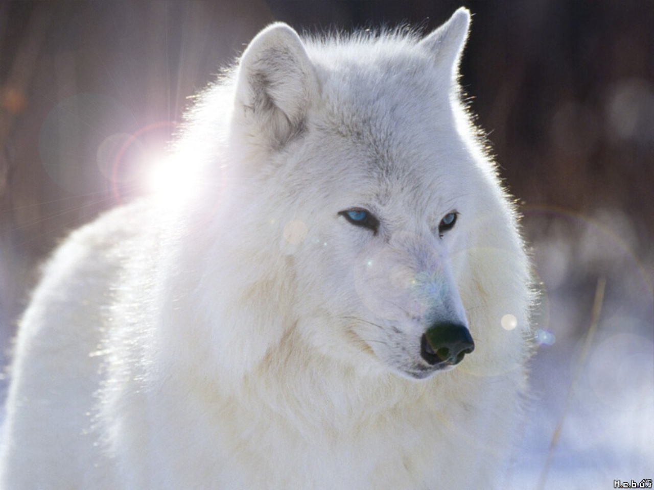 Image - White-wolf-with-blue-eyes-wallpaper-4.jpg