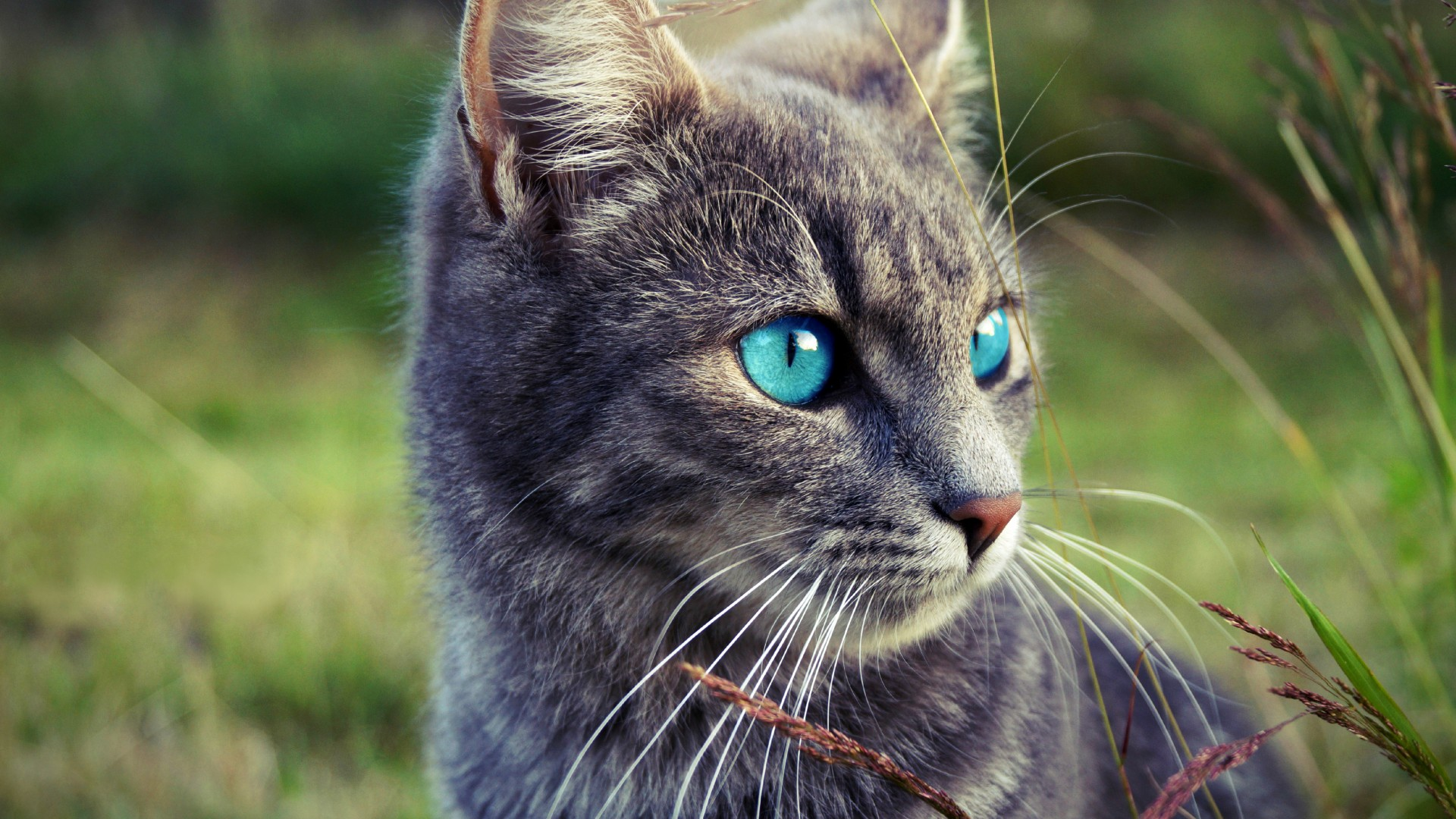 Image Portrait of grey little cat with blue eyes in reed field
