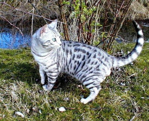 File:Beautiful-Fluffy-Kittens-Bengal-X-Munchkin-lilianmoor1-gt-G-gt-M-gt-A-gt-I-gt-L-gt-gt-C-gt-O-gt-M-540dae56c95946b054c2.jpg