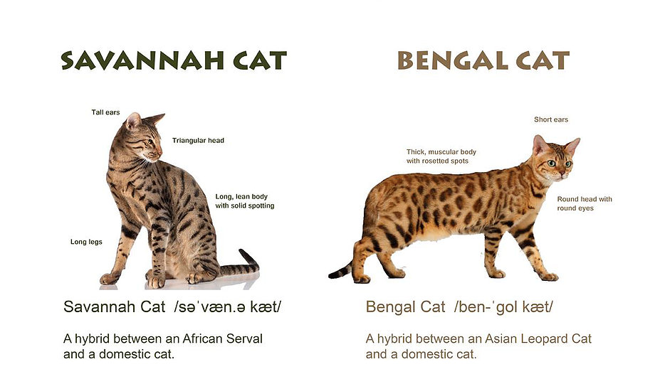 Where Can I Buy A Savannah Cat In Australia