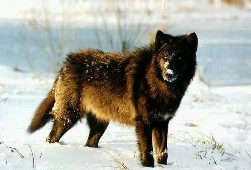 Image red wolf a red wolf with a mix of black and reddish fur a red wolf a red wolf with a mix of black and reddish fur a long snout and glowing yellow eyes standing on the ice under the sunlightg sciox Images