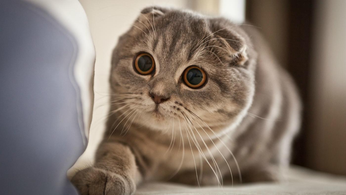 Image Things consider beforesad ing scottish fold kitten