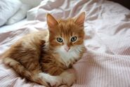 Gingerkit young cat thing
