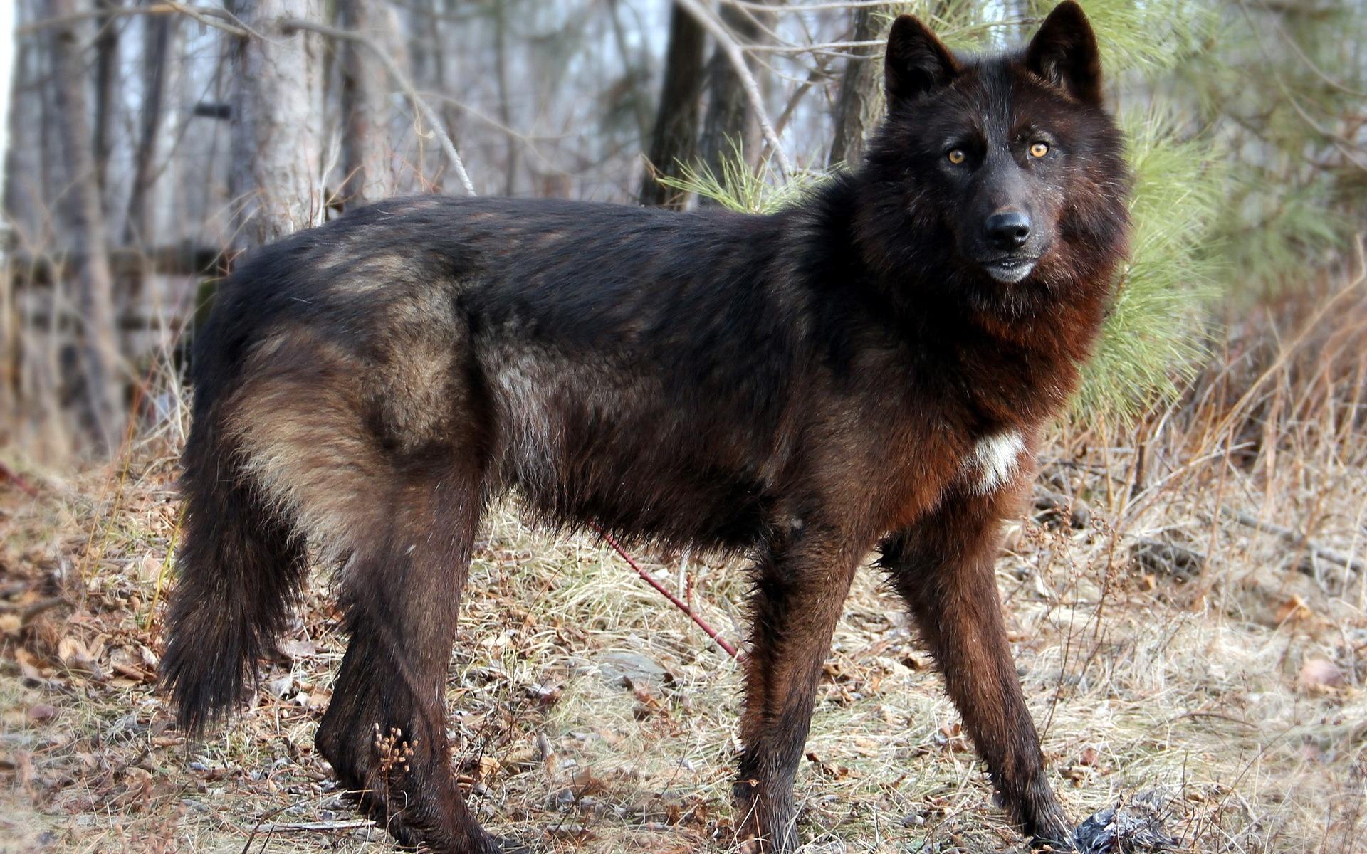 Image scary black wolf desktop backgroundg animal jam clans scary black wolf desktop backgroundg sciox Images