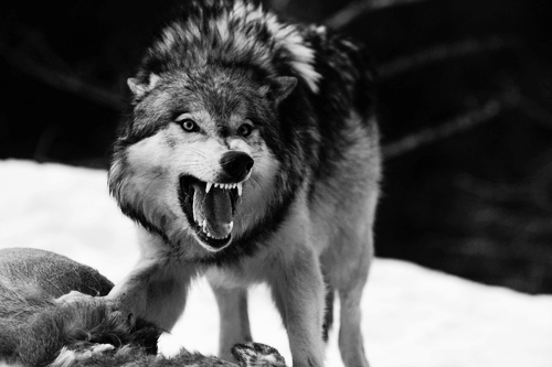 Filesjdjsjjsnarling wolf in black and white jpg