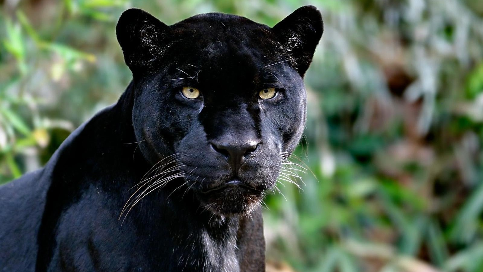 Amazing Black Jaguar Vs Black Leopard Wallpaper 2