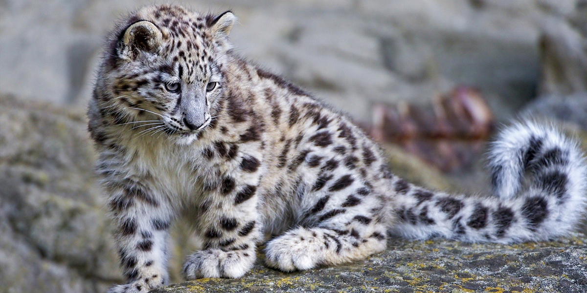 Baby Snow Leopard L