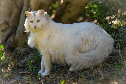 Cat-Turkish-Angora