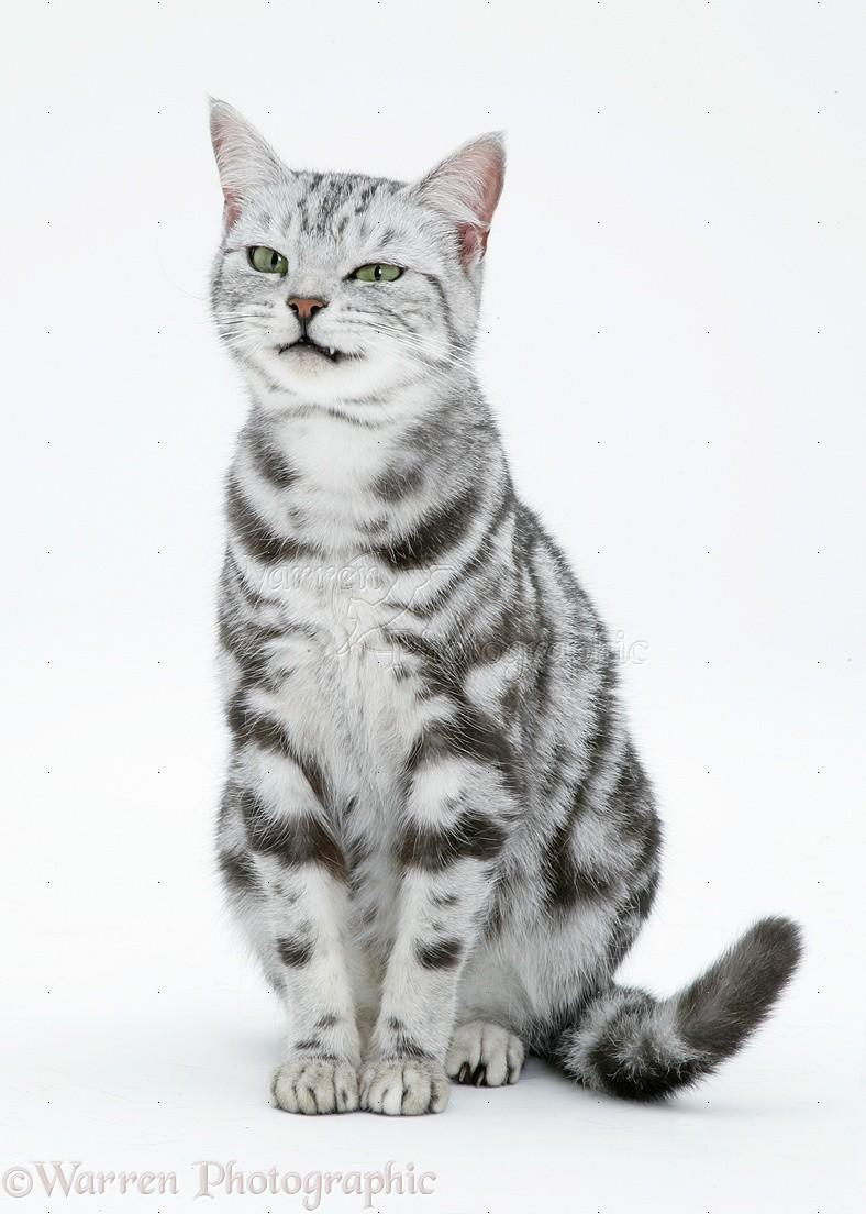 image 40471 silver tabby cat white background jpg animal jam