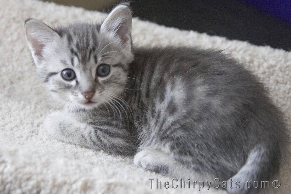 Image Hulk Blue Silver Egyptian Mau Male Kitten 1