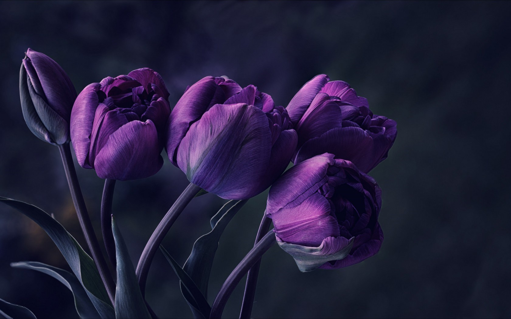 Image mystery flower night dark tulips purple petals photo mystery flower night dark tulips purple petals photo beautiful wallpaperg izmirmasajfo